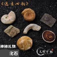 天然古生物化石标本盒三叶虫菊石斑彩螺奇石原石石头礼品收藏摆件