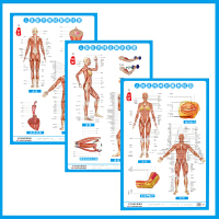 人体肌肉神经解剖图 西医挂图肌肉示意图 正侧背面共3张/套 人体解剖挂图