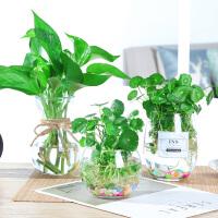 水培绿萝玻璃花瓶透明植物风信子客厅插花创意花盆器皿家居日用小摆件 绿萝套装 圆球套装 鹅蛋套装 中等