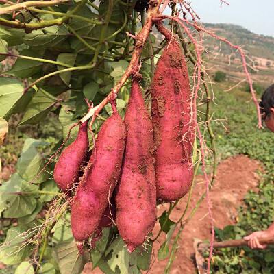 【包邮】陕西特产板栗红薯2.5kg【产地直采】无丝,香、甜