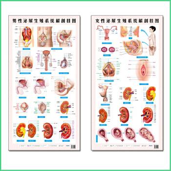 男性女性泌尿生殖系统解剖挂图 共2张 前列腺肾脏尿道子宫示意图 女性